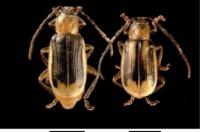 insetto2-diabrotica